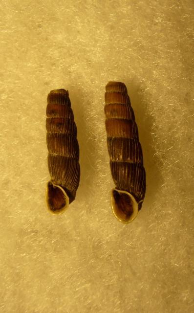 Acrotoma semicincta