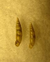 Pravispira semilamellata