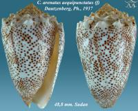Conus arenatus aequipunctatus