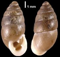 Chondrula tridens