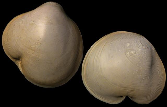 Педивелигер Heteranomia aculeata (размер - 300 мкм). Компьютерная реконструкция.