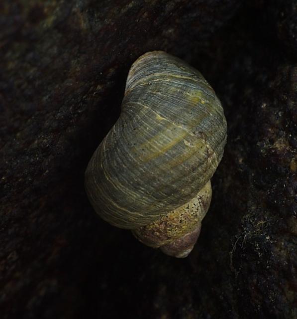 Littorina saxatilis на камне