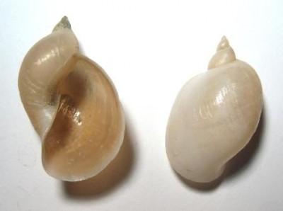 Lymnaea ovata var. taurika окр. Севастополя.jpg