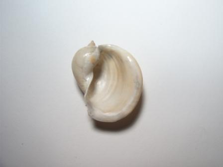 Lymnaea monnardi р. Чрная, близ г.Инкерман..jpg