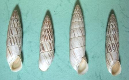 Brephulopsis cylindrica var.fusiformis (Mke.) Форос 2000.jpg