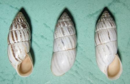 Brephulopsis cylindrica var inflatus Чернореченский кан. 2002.jpg