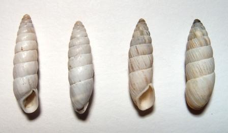 Brephulpsis bidens, левые - Опук(2004).jpeg