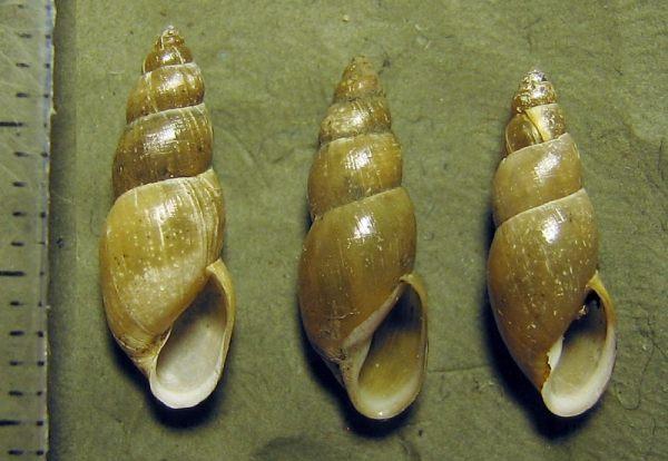 Lymnaea glabra.jpg