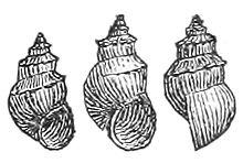220px-Pyrgophorus_spinosus_shell.jpg