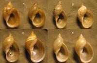 Lymnaea intermedia